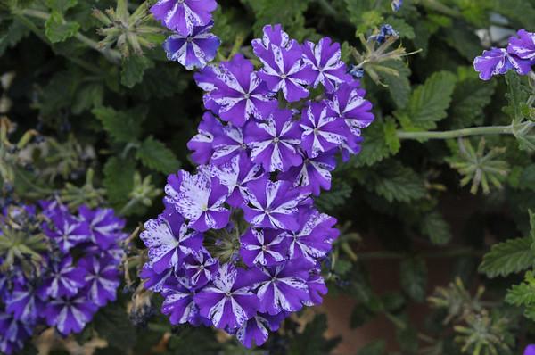 Verbena (spreading) Lanai Purple Star (2)