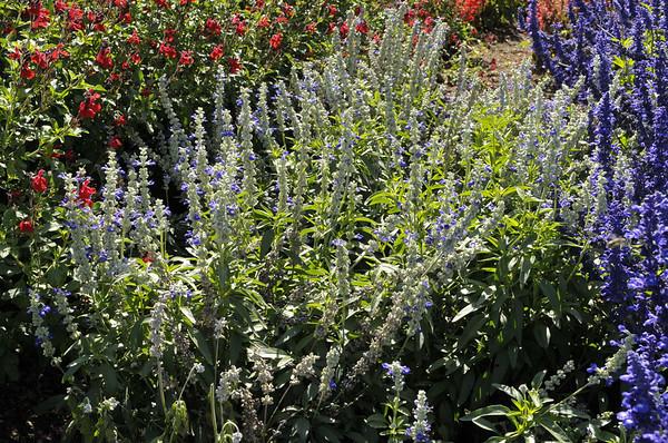 Salvia farinacea Sallyfun Blue Tune