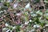 Talinum Verde berries