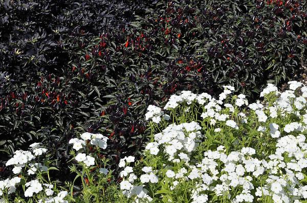 Ornamental Pepper Explosive Ember and Phlox Phoenix White