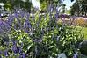 Salvia farinacea Indigo Spires Blue