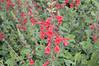 Salvia darcyi 'Pscarl