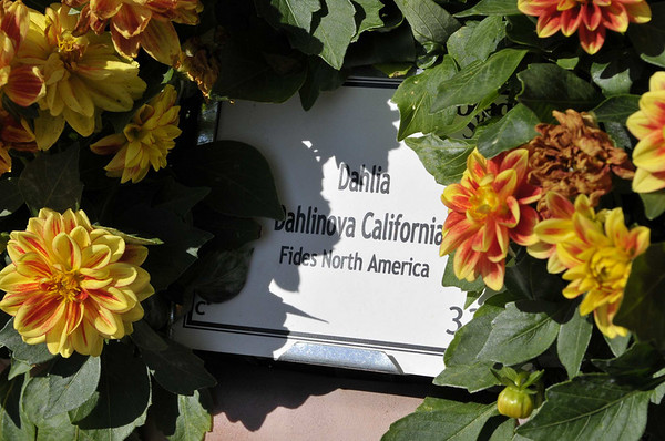 Dahlia Dahlinova California