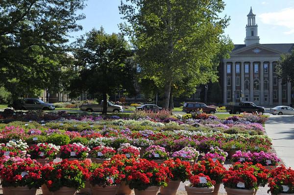 CSU flowertrials geraniums and old high school