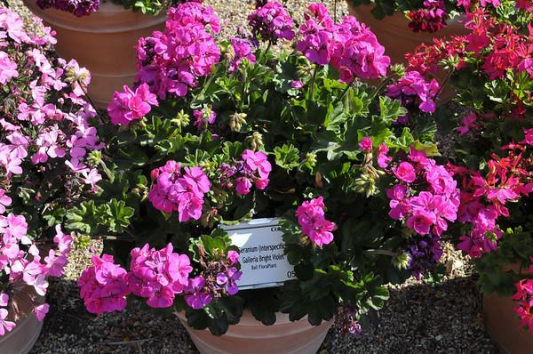 Geranium (interspecific) Galleria Bright Violet