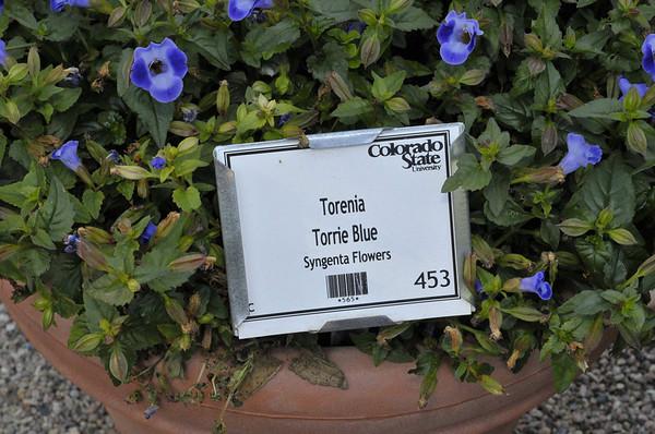Torenia Torrie Blue