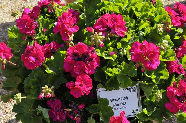Geranium (zonal) Allure Violet