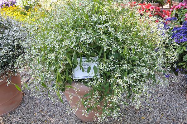 Euphorbia Breathless White