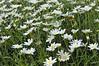 Argyranthemum Angelic White Chic