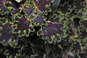 Coleus Sibila close