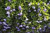 Calibrachoa MiniFamous Lavender