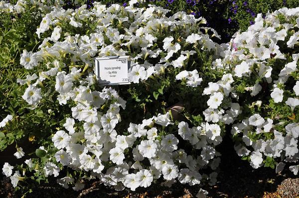 Petunia (spreading) Ray White