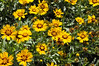 Coreopsis Corey Yellow
