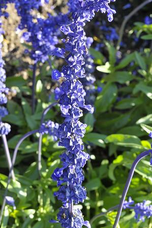Salvia Farinacea Sallyfun Blue Emotion spike