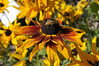 Rudbeckia Denver Daisy close