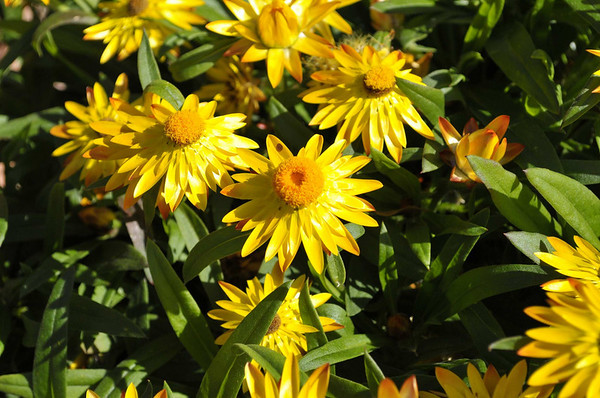 Bracteantha Dazette Yellow