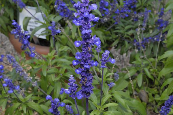 Salvia farinacea Sallyfun Blue