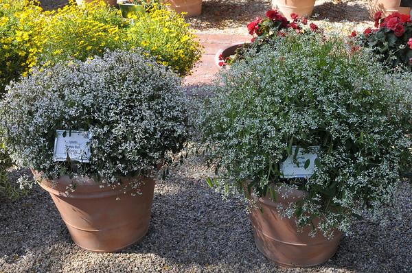 Euphorbias, Breathless Blush and Breathless White