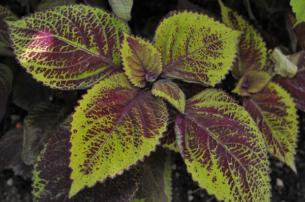 Coleus Versa Burgundy to Green close