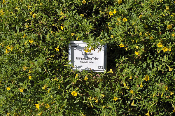 Calibrachoa MiniFamous Deep Yellow