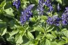 Salvia farinacea Indigo Spires Blue (2)