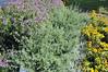 Helichrysum Silver Crest