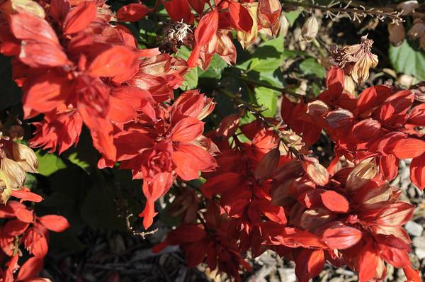 Salvia splendens Fizz Strawberry close