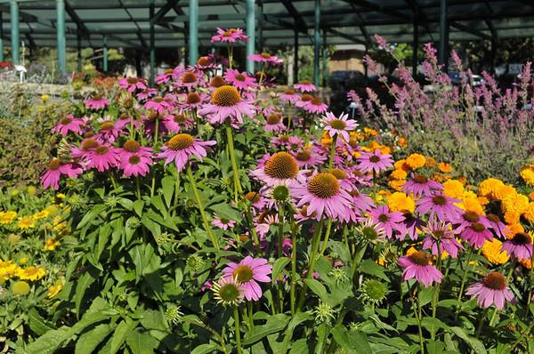 Echinacea Deep Rose