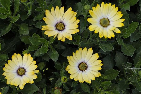 Osteospermum Tradewinds Yellow Bicolor
