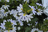 Scaevola Crystal Improved_DSC0322