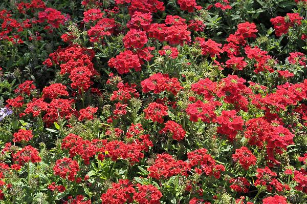 Verbena (spreading) Roccoco Red