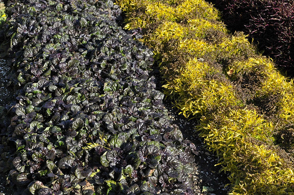 Ajuga, Black Scallop and Alternathera True Yellow