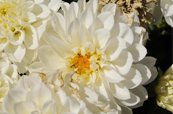 Dahlia Dahlinova Hypnotica White close