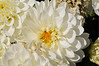 Dahlia Dahlinova Hypnotica White close