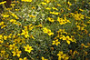 Bidens Mexican Gold Compact close