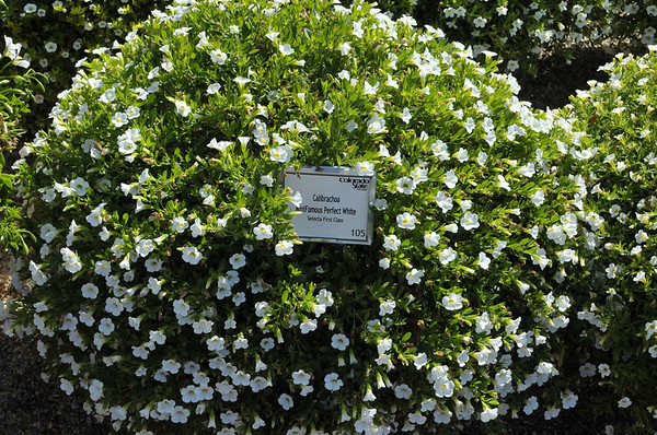 Calibrachoa MiniFamous Perfect White