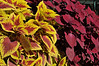 Coleus, Trusty Red and Redhead