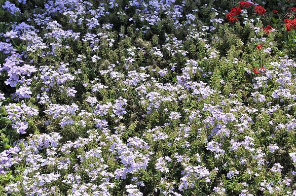Verbena (spreading) Carpet Heaven