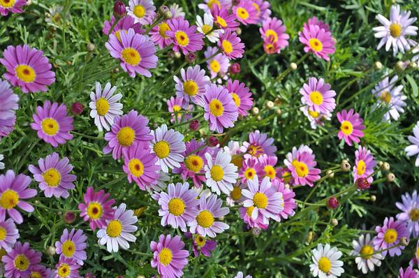 Argyranthemum Angelic Magenta