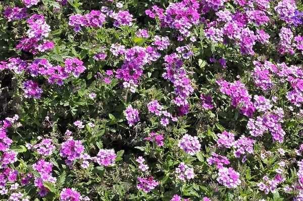Verbena (upright) Lanai Upright Bright Rose