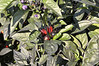 Ornamental Pepper Black Pearl red peppers
