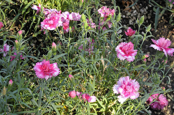 Dianthus Garden Spice Bi Color