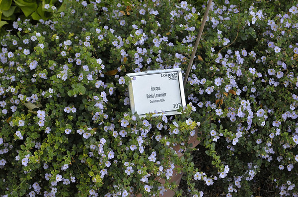 Bacopa Bahia Lavender