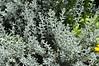 Helichrysum Silver Dwarf