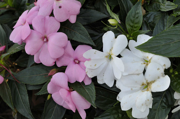 Impatiens (double) Mix close