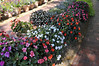 Impatiens (New Guinea) row