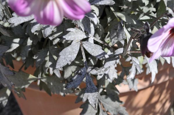 Dahlia Mystic Dreamer leaf