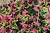 Nicotiana Starmaker Bright Red