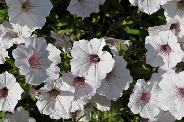 Petunia (spreading) Supertunia Vista Silverberry close