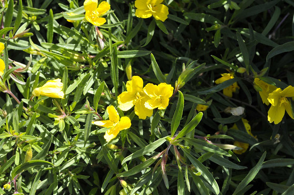 Oenothera Lemon Drop close